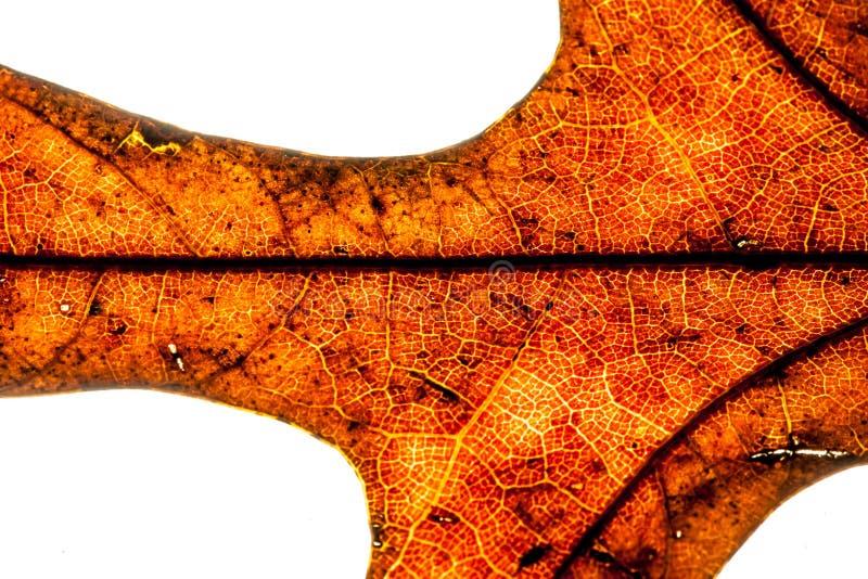 Le tir abstrait d'un dos a allumé la feuille sèche de chêne, les cellules de indication et la structure de feuille photos libres de droits