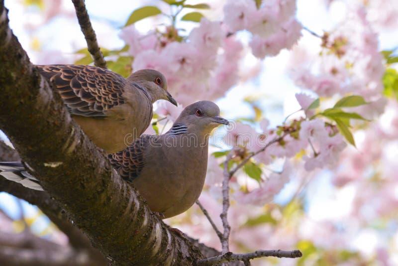 Le tortore si accoppiano con i fiori di yaesakura immagini stock libere da diritti