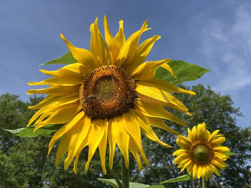 Le tournesol commun, le helianthus annuus ou l'île Mainau de fleur de Sonnenblume sur le Lac de Constance image libre de droits
