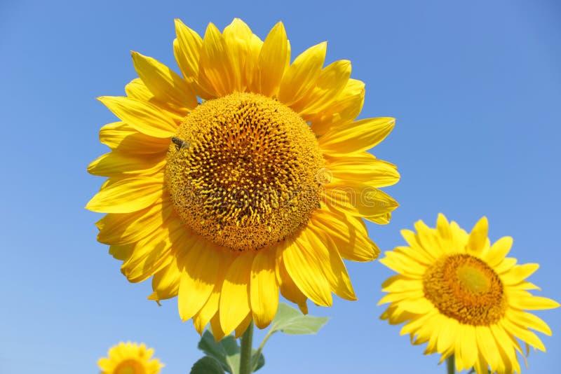 Le tournesol de floraison mettent en place avec l'abeille dans le jour d'été ensoleillé image stock