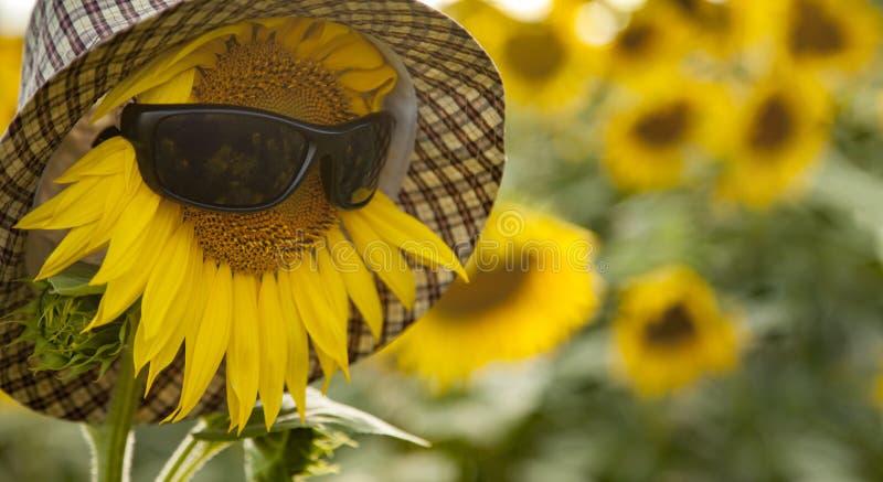 Le tournesol porte des lunettes de soleil et un chapeau sur le terrain photos libres de droits