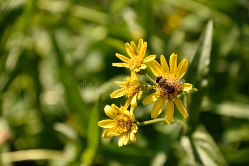 Le tournesol sauvage avec gaffent l'abeille reposant là-dessus la fin  image stock