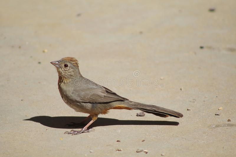 Le Towhee de canyon prie photos stock