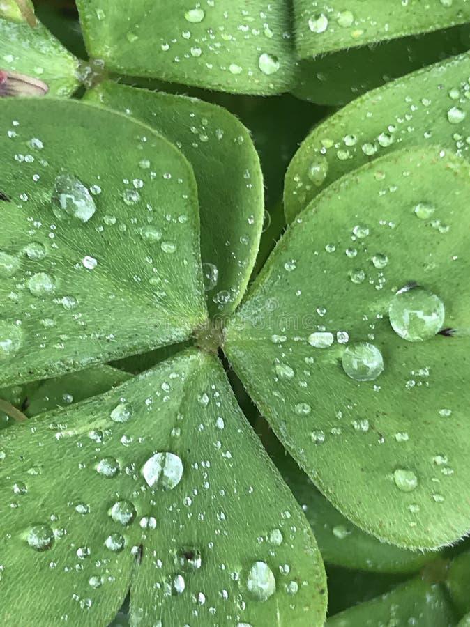 Le trèfle couvert de pluie se laisse tomber, couleur verte le matin de ressort photographie stock libre de droits