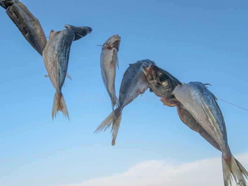 Le trachurus de Caranx de maquereau ficelé sur une ligne de pêche est séché Sur le fond du ciel bleu image libre de droits