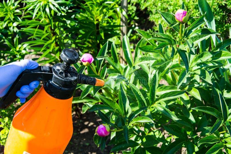 Le traitement du jardin fleurit des parasites et des maladies photo stock