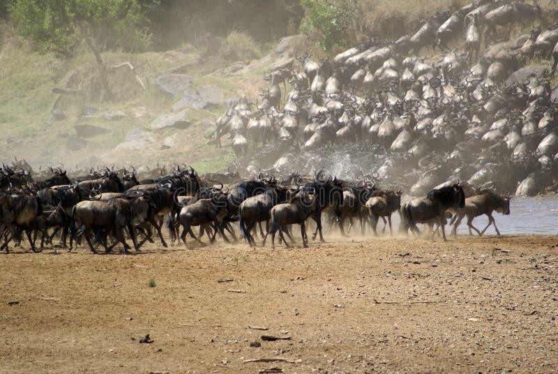 Le transfert grand du Kenya photographie stock libre de droits