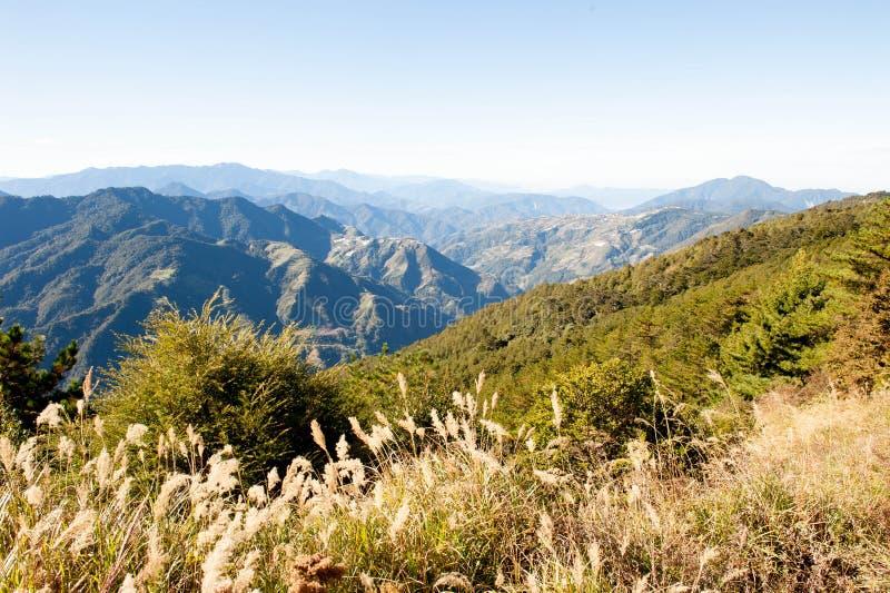 Le transmorrisonensis de Miscanthus dans la haute montagne photo libre de droits