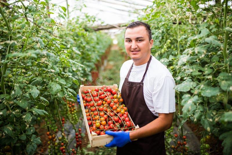 Le travailleur de ferme de jeune homme rassemble des tomates-cerises moissonnent dans des boîtes en bois en serre chaude photos stock