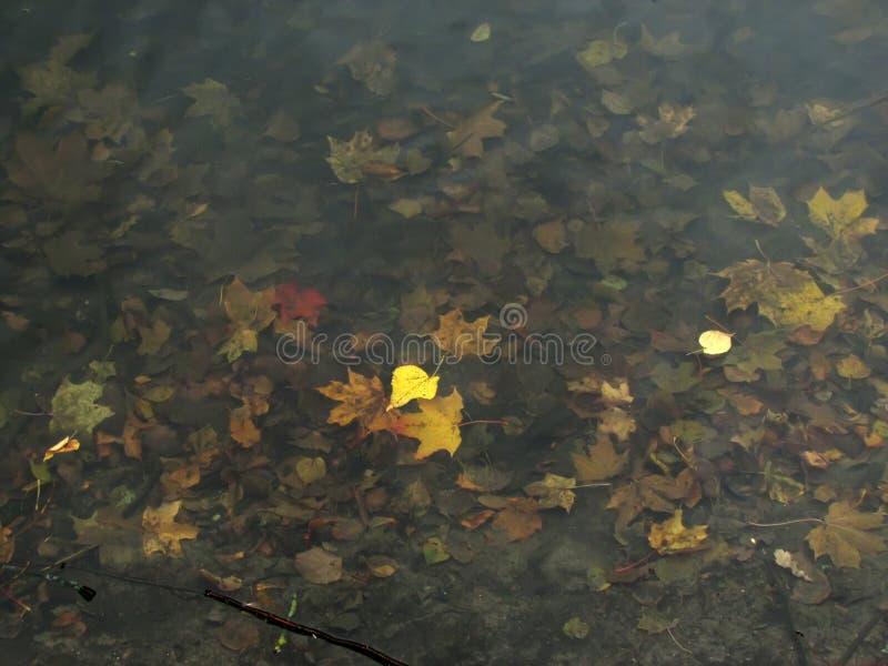 Le tremble laisse le flottement sur l'eau contre le contexte de s image stock