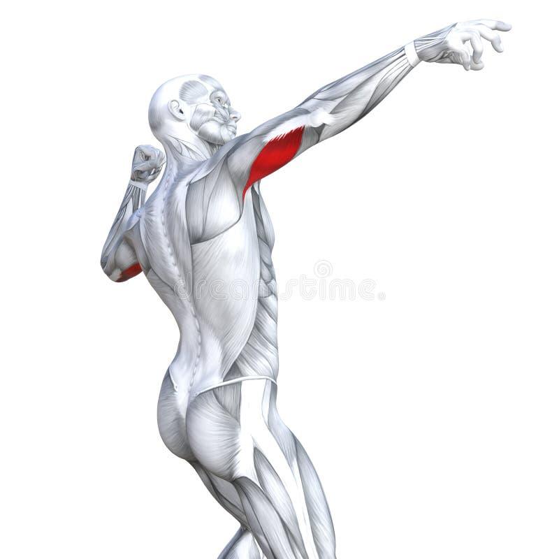 le triceps de l'illustration 3D a adapté l'anatomie humaine forte illustration de vecteur