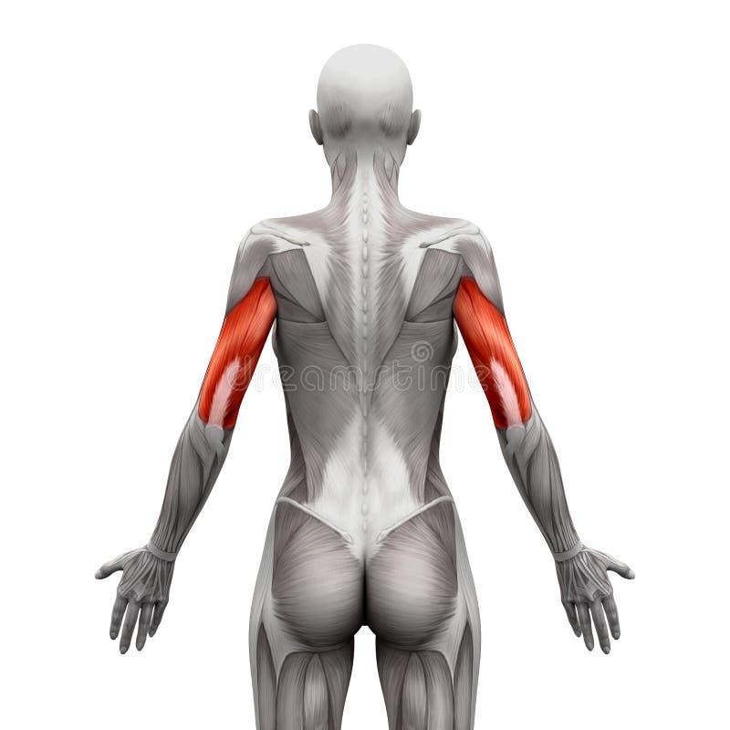 Le triceps Muscles - des muscles d'anatomie d'isolement sur le blanc - l'illustr 3D illustration libre de droits