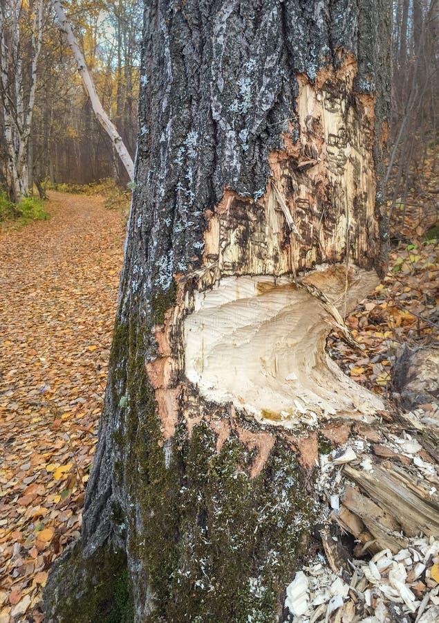 Le tronc d'arbre partiellement a mâché par des castors, Alberta, Canada image stock