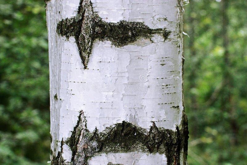 sur le tronc de l 39 arbre de bouleau cultivez les agarics comestibles de miel de champignons image