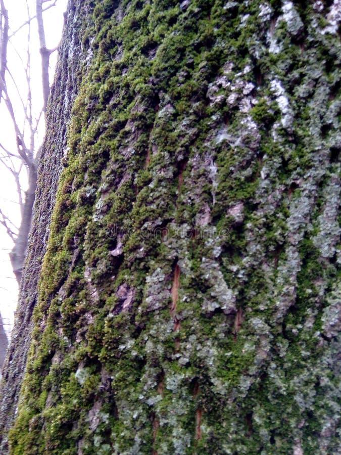 Le tronc d'un peuplier a envahi avec de la mousse photos libres de droits