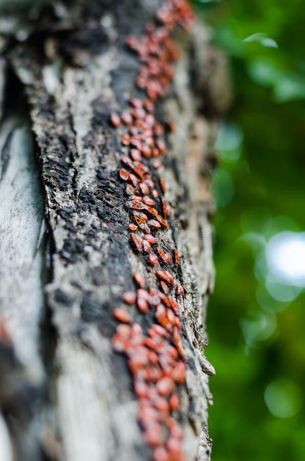 Le tronc d'un vieux peuplier est devenu une voie pour mille petits insectes L'armée le pyromane monte le tronc Foyer s?lectif Str photo stock