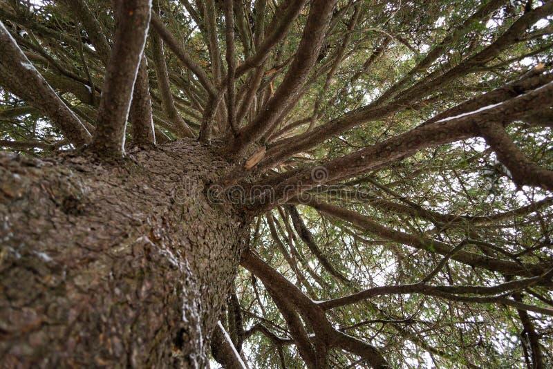 Le tronc et les branches d'un arbre de sapin photo stock