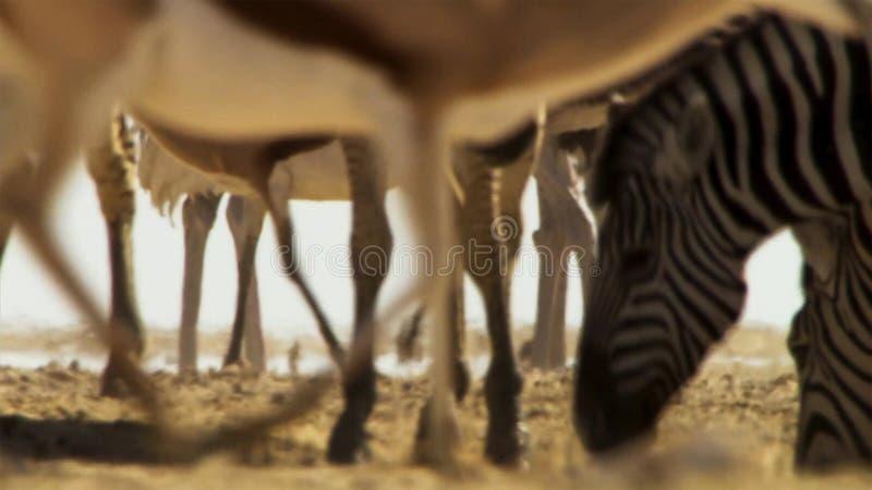Le troupeau d'animaux entreprennent de longs voyages à la recherche de l'eau Migration des animaux dans la savane africaine photos libres de droits