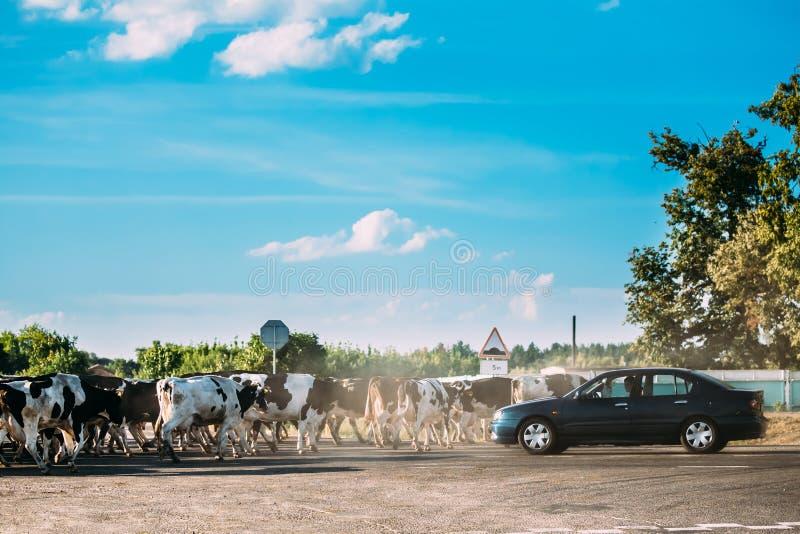 Le troupeau de bétail effraye la route de croisement dangereuse dans la campagne Oppo photographie stock