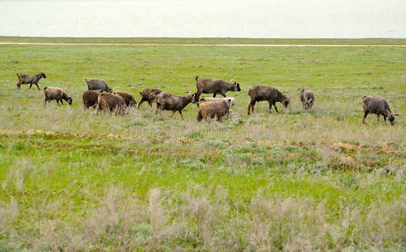 Le troupeau de chèvres est frôlé sur une steppe de pâturage au printemps k images stock
