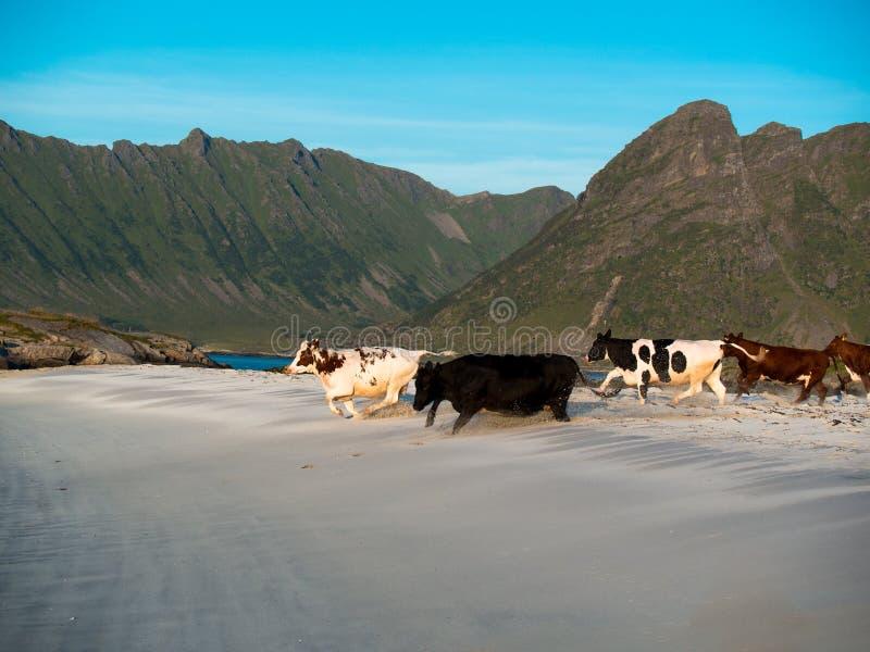 Le troupeau de jeunes vaches fonctionne le long de la plage sur un fond des montagnes images libres de droits