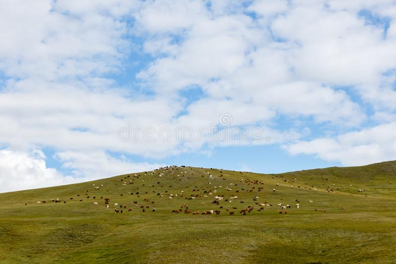 Le troupeau de moutons et les chèvres frôlent dans la steppe mongole image libre de droits
