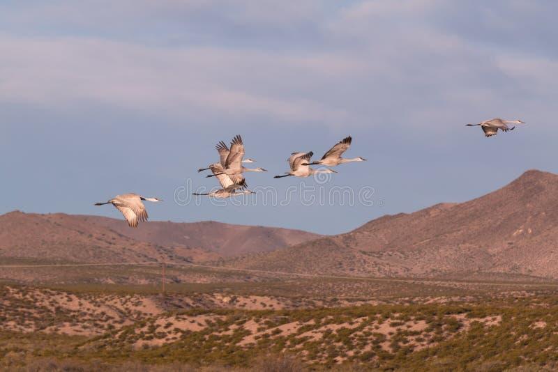 Le troupeau de Sandhill tend le cou en vol images libres de droits
