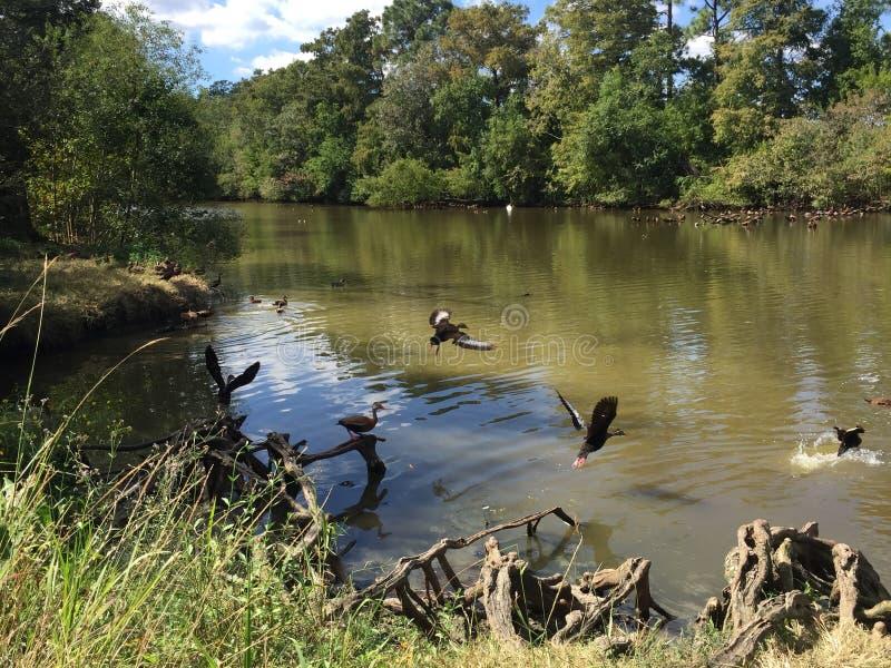 Le troupeau de siffler Noir-gonflé se penche en parc d'Audubon photo stock