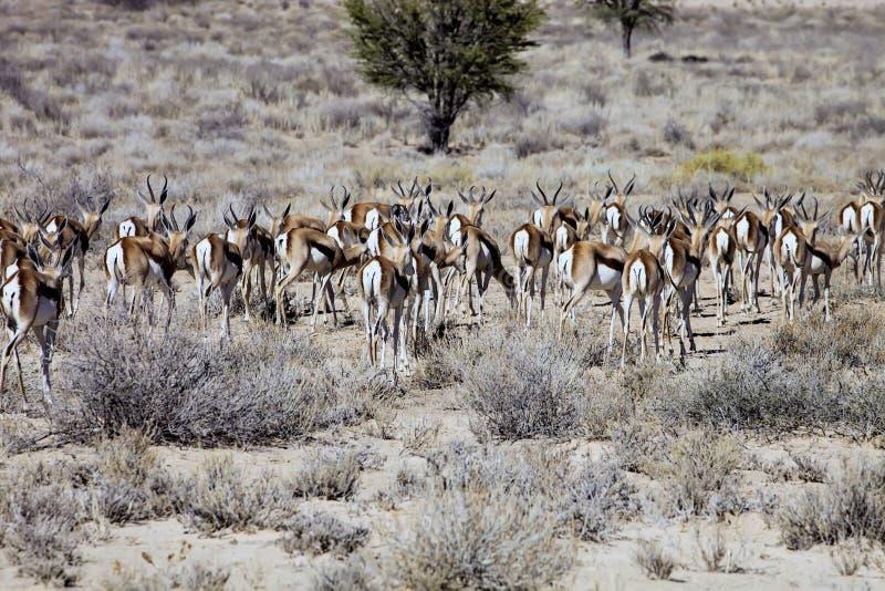 Le troupeau de springbok, marsupialis d'Antidorcas, Kalahari, Afrique du Sud images stock