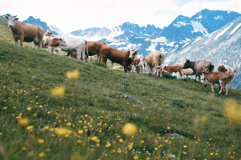 Le troupeau de vaches se tient dans la vallée de montagne au fond de crêtes neigeuses photo stock
