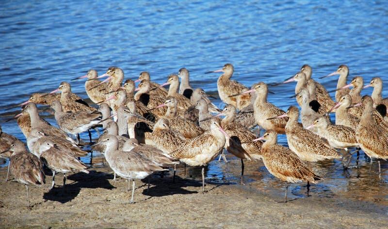 Le troupeau des bécasseaux se reposant le long de Newport en arrière aboient, la Californie du sud. photos libres de droits