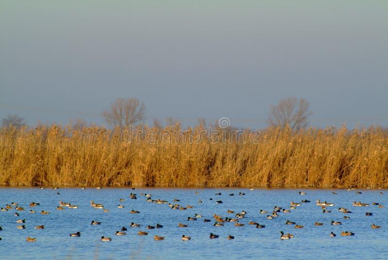 Le troupeau des canards alimente au coucher du soleil, delta de PO images libres de droits
