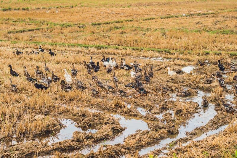 Le troupeau des canards foragent la nourriture dans le domaine de riz photo libre de droits
