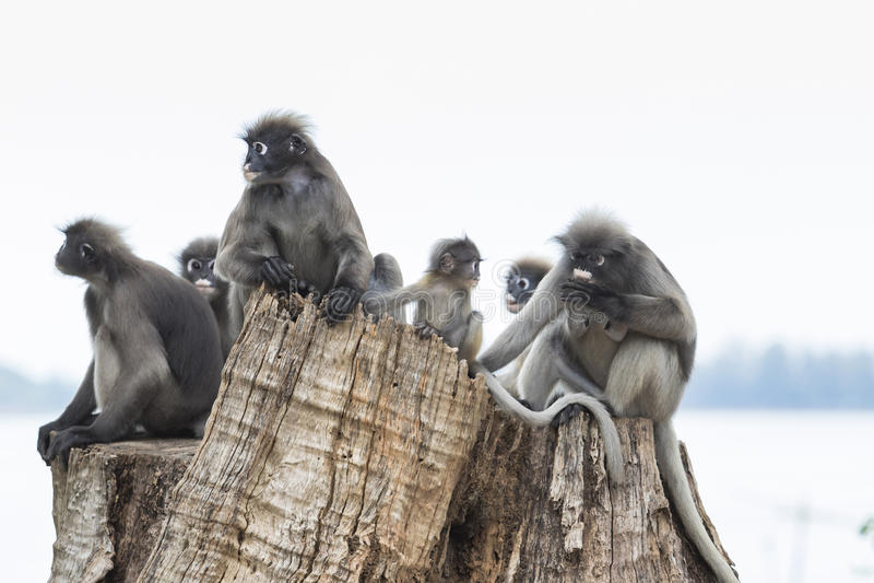 Le troupeau des feuilles sombres sauvages monkey sur le tronçon d'arbre photographie stock libre de droits