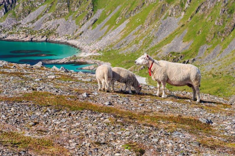 Le troupeau des moutons et les agneaux en montagnes s'approchent de la mer La Norvège, l'Europe images libres de droits
