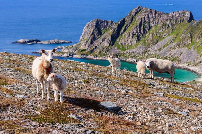Le troupeau des moutons et les agneaux en montagnes s'approchent de la mer La Norvège, l'Europe photographie stock