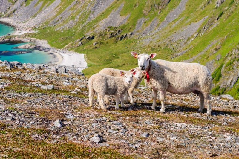 Le troupeau des moutons et les agneaux en montagnes s'approchent de la mer La Norvège, l'Europe photographie stock libre de droits