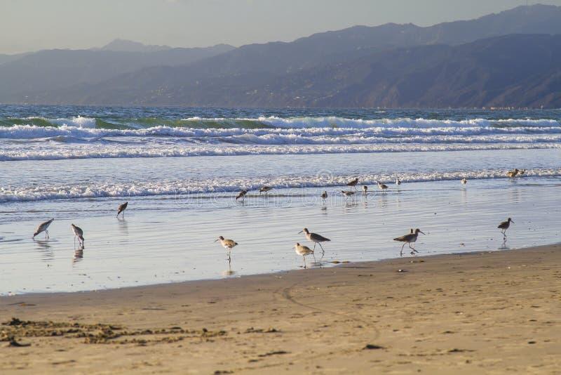 Le troupeau du bécasseau patauge photo stock
