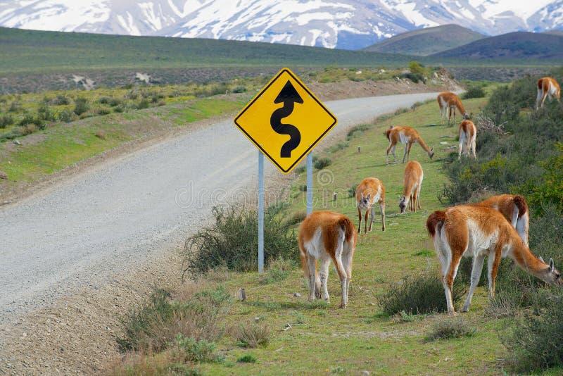 Le troupeau du guanicoe de lama de guanacos frôlent au bord de la route en parc national de Torres del Paine, Patagonia, Chili photos stock