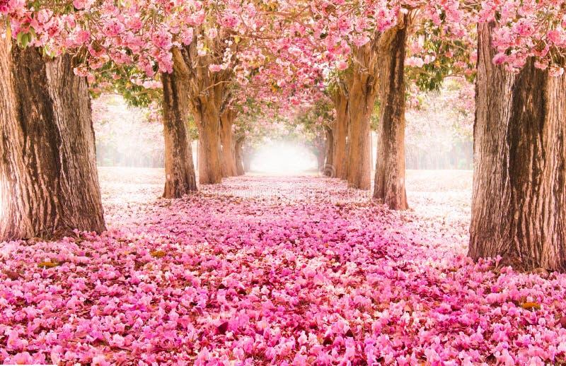 Le tunnel romantique des arbres roses de fleur image libre de droits