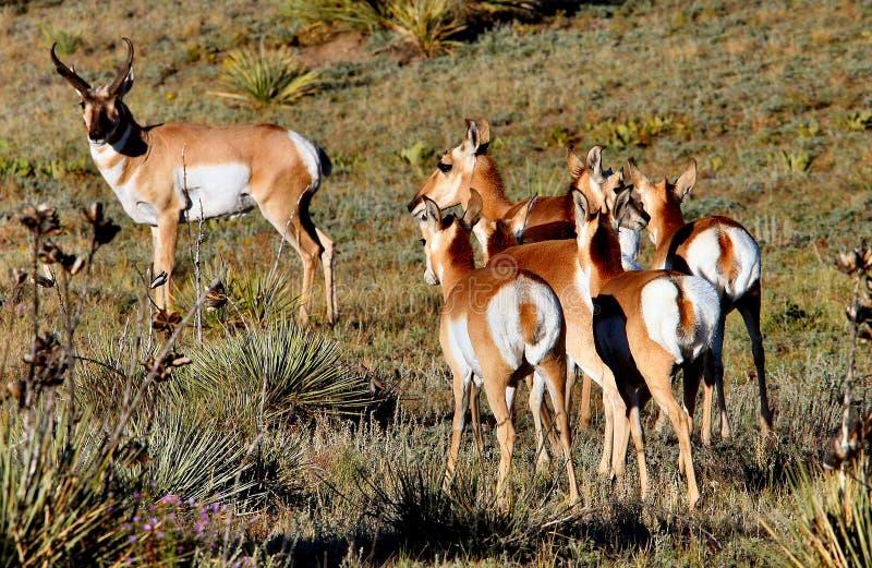 Le type d'antilope de Pronghorn et fait images libres de droits