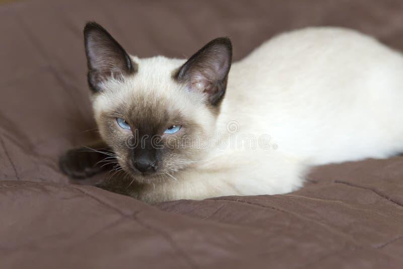 Le type de Kitten Siamese, queue écourtée du Mékong se trouve sur une couverture et somnole photos stock