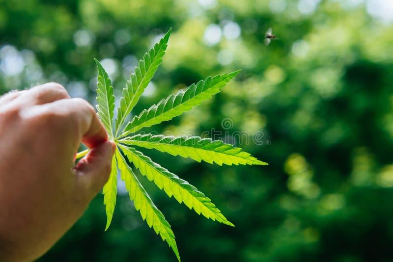Le type tient une feuille de cannabis dans sa main image libre de droits