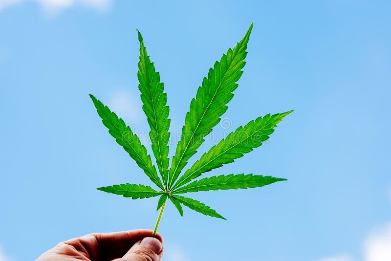 Le type tient une feuille de cannabis dans sa main photos stock