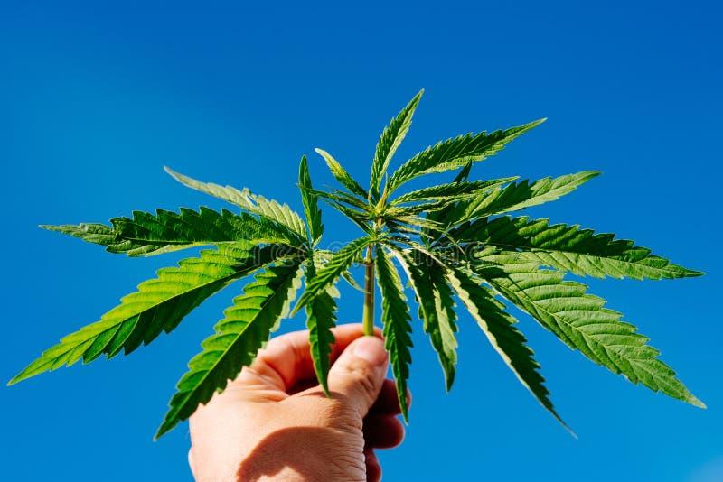 Le type tient une feuille de cannabis dans sa main images stock