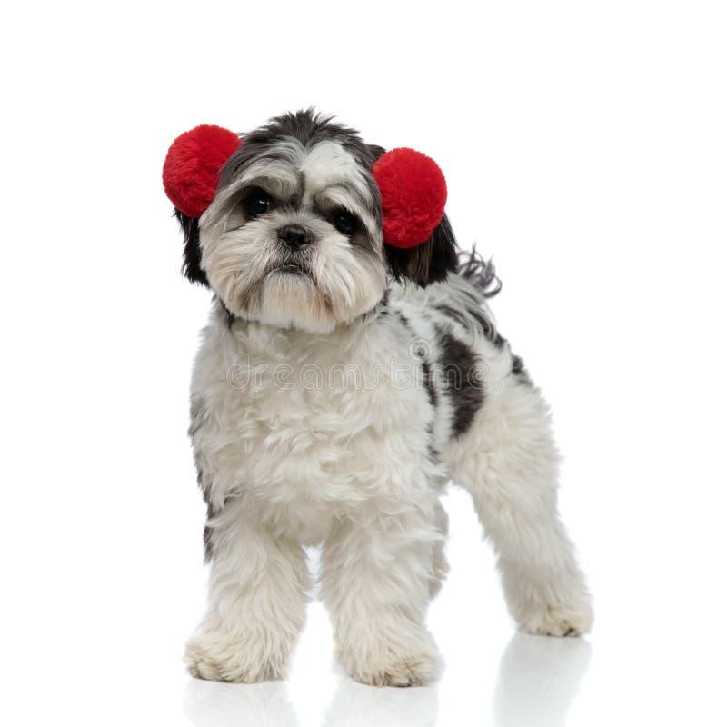 Le tzu velu de shih porte les bouche-oreilles rouges et les regards pour dégrossir photographie stock libre de droits
