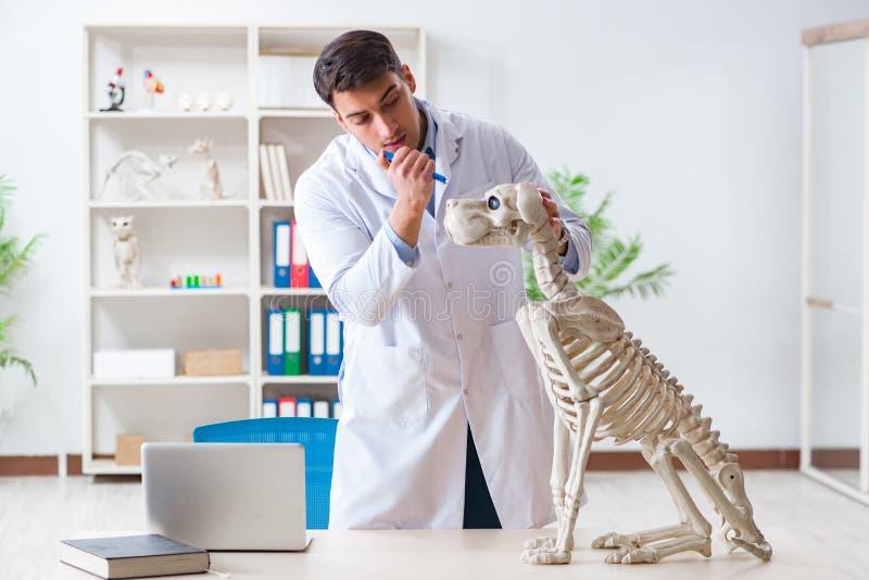 Le vétérinaire de docteur pratiquant sur le squelette de chien photos libres de droits