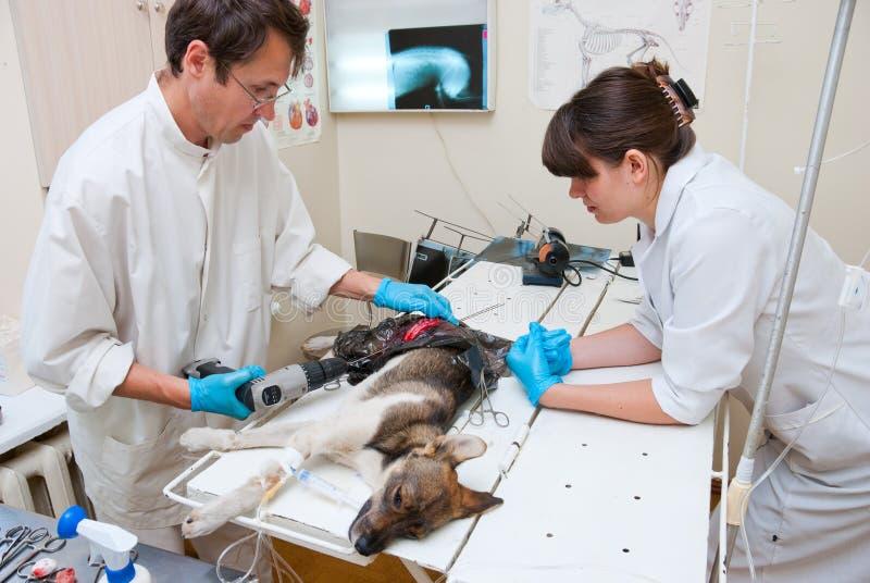 Le vétérinaire effectue la chirurgie photos stock