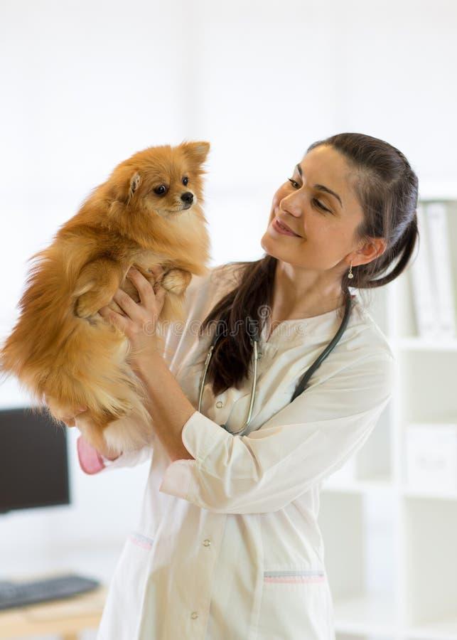 Le vétérinaire tient le Spitz de races de chien photos stock