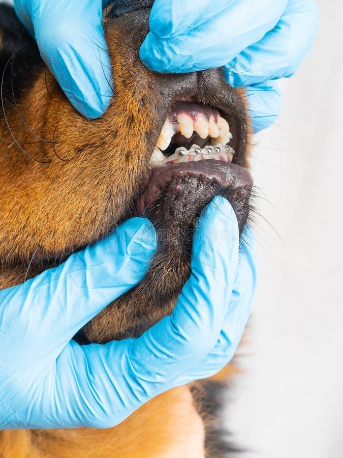 Le vétérinaire vérifie les accolades de chien installées Nettoyage des accolades de la laine photo stock